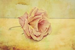 Pink rose vintage background Stock Photo
