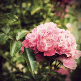 Pink Rose vintage photo. In garden Royalty Free Stock Photo