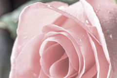 Pink Rose In Vintage Style Royalty Free Stock Photos