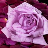 Pink rose and violet petals Stock Image