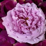 Pink rose and violet petals Royalty Free Stock Photography