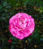 Pink rose. And walter drop in the garden Royalty Free Stock Image