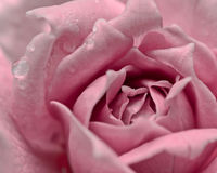 Pink rose and water drop  vintage filter Stock Photography