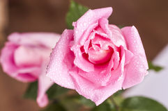 Pink Rose. With water droplets Stock Image