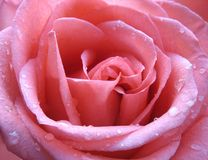 Pink rose with water droplets close up stock photo
