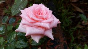 A Pink Rose with water droplets in a garden. A Pink rose with water droplets on the petals and leaves Stock Image