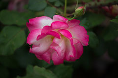 Pink rose with water droplets Stock Photos