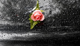 Pink rose with water drops Royalty Free Stock Photography
