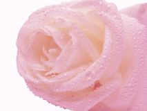 Pink rose in water drops Stock Image