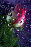 Pink rose in water drops. Pink rose reflected in water drops on purple background Stock Images