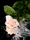 Pink rose with water drops Stock Images