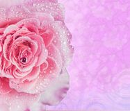 Pink rose water drops for background. Pink rose water drops for spring background 1 Royalty Free Stock Photos