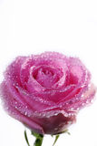 Pink rose with water drops Royalty Free Stock Image