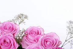 Pink rose with water drops Stock Image