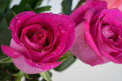 Pink rose with water drops Stock Photo