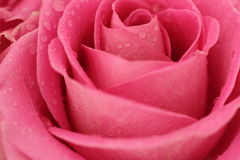 Pink Rose with water drops Royalty Free Stock Photo