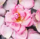Pink rose in water with drops and petals Stock Photo