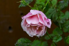 Pink rose with water drops. This is a pink rose with some water drops on the flower Stock Photography