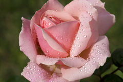 Pink rose with water drops in spring garden Royalty Free Stock Photos