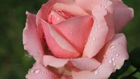 Pink rose with water drops in spring garden stock footage