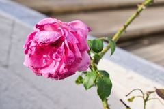 A rose under the rain royalty free stock image