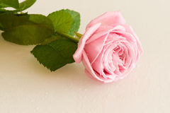Pink rose with water drops on white surface Royalty Free Stock Photos