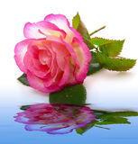Pink rose and water  reflection. Stock Photos