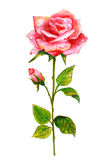 Pink rose. Watercolor painting. royalty free stock images