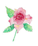 Pink Rose Watercolor. Watercolor painting of a pink rose on a white background stock illustration