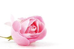 Pink rose with waterdrops. On a white background Stock Photo