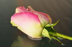 Pink rose on a wet background Stock Image