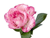 Pink rose on white Royalty Free Stock Images