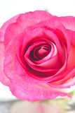 Pink rose  on white Royalty Free Stock Photos