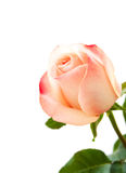 Pink rose on white Stock Images