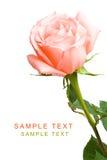 Pink rose on white Stock Photo