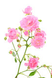 Pink rose on white. Royalty Free Stock Image