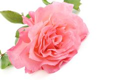 Pink Rose With White Background Stock Photography