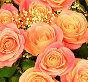 pink rose on white background Stock Photo