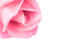 Pink rose on white background. Royalty Free Stock Photo