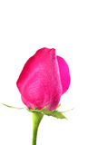 Pink rose. On white background Stock Photos