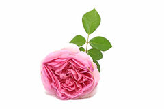 Pink rose. On white background Royalty Free Stock Photography