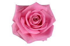 Pink rose on a white background Stock Images
