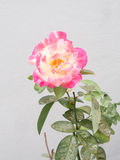 Pink rose. On white background Stock Image