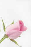 Pink rose on the white background Royalty Free Stock Photos