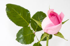 Pink rose on the white background Stock Photos