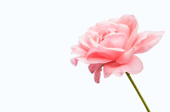 Pink rose on white background Royalty Free Stock Image