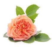 Pink rose. royalty free stock photo