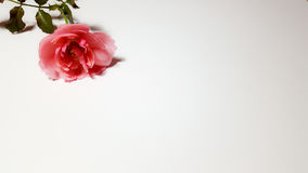 Pink rose on white background. With blank space to fill some texts. The beautiful flower for romance mood Stock Photography