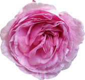 Pink rose on white background Royalty Free Stock Photo