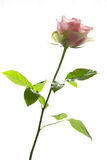 Pink rose on white background Stock Images